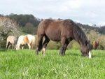 Centre équestre et pensions pour chevaux à Avranches